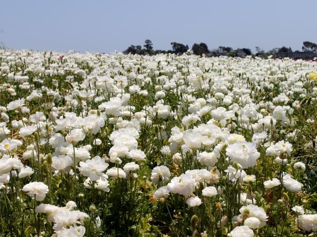 flowerfields2